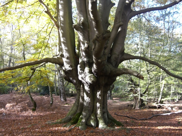 Mysteries & Wildlife in Epping Forest, Essex, Conservation Area, Trees & Fungi
